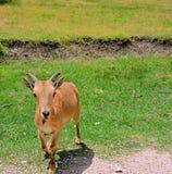 Jonge Ram Royalty-vrije Stock Fotografie