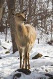 Jonge reeën in het de winterbos royalty-vrije stock afbeeldingen