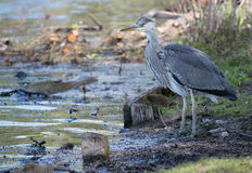 Jonge Reigervogel royalty-vrije stock fotografie