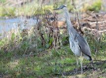 Jonge Reigervogel royalty-vrije stock afbeelding