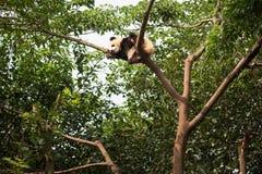 Jonge reuzepandaslaap bij de bovenkant van een boom Stock Fotografie