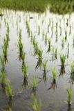 Jonge rijst Stock Afbeelding