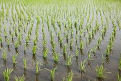 Jonge rijst Stock Foto's