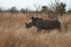 Jonge rinoceros Royalty-vrije Stock Afbeelding
