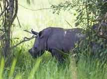 Jonge rinoceros bij Ziwa-Rinocerosheiligdom stock afbeeldingen