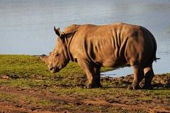 Jonge rinoceros op de waterkant stock foto's