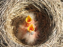 Jonge robins Stock Foto's