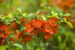 Jonge rode bloeiwijzen van Japanse sierkweepeerstruik royalty-vrije stock fotografie