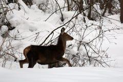 Jonge rode herten in de sneeuw Stock Afbeeldingen