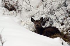 Jonge rode herten in de sneeuw Royalty-vrije Stock Afbeeldingen