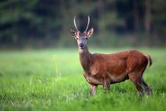 Jonge rode herten in een opheldering Royalty-vrije Stock Foto