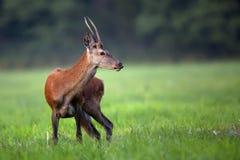 Jonge rode herten in een opheldering Stock Foto