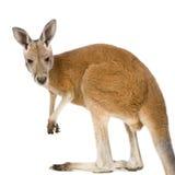 Jonge rode kangoeroe (9 maanden) - rufus Macropus Royalty-vrije Stock Foto's