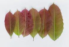 Jonge rode kleurenbladeren Royalty-vrije Stock Foto's