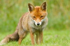Jonge Rode vos Stock Afbeeldingen