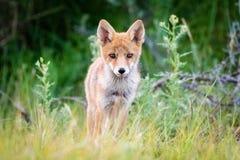 Jonge rode vos Stock Afbeelding