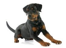 Jonge Rottweiler Royalty-vrije Stock Fotografie