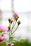 Jonge roze nam toe Royalty-vrije Stock Foto's