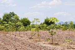 Jonge rubberbomen Stock Fotografie