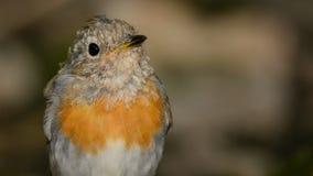 Jonge rubecula van Robin Erithacus zit op de vogelbar in het hout stock afbeelding