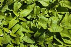 Jonge russeliana Phlomis Royalty-vrije Stock Afbeeldingen