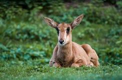 Jonge sabelmarterantilope Stock Afbeelding