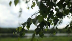 Jonge sappige groene bladeren op de takken van een berk stock videobeelden