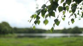 Jonge sappige groene bladeren op de takken van een berk stock video