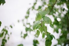 Jonge sappige groene bladeren op de takken van een berk in in openlucht in de macro van het de lenteclose-up royalty-vrije stock foto's