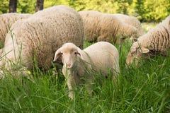 Jonge schapen in aard, op weide De landbouw openlucht Stock Foto