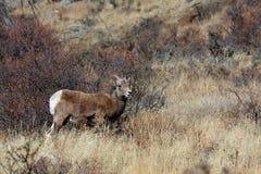 Jonge schapen Bighorn Stock Afbeelding