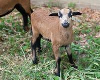 Jonge schapen van Kameroen Royalty-vrije Stock Foto