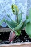 Jonge scherpe tulpeninstallatie met dark aan lichtgroene volledig gesloten tepals met gele die randen met pointy verlengde blader royalty-vrije stock foto