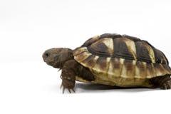 Jonge schildpad op een witte achtergrond Royalty-vrije Stock Foto