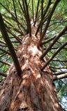 Jonge Sequoiaboom stock foto