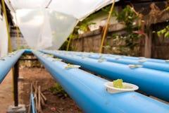 Jonge sla in hydrocultuurlandbouwbedrijf in Thailand Royalty-vrije Stock Foto's