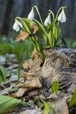 Jonge sneeuwklokjes boven de oude bladeren in de lentebos stock afbeeldingen