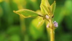 Jonge sojabooninstallaties met uiterst kleine bloemen op gecultiveerd sojaboongebied De landbouwachtergrond van de sojaaanplantin stock videobeelden