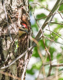 De nestvogel van de specht in een holte van een boomboomstam Royalty-vrije Stock Foto