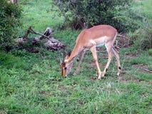 Jonge Springbok royalty-vrije stock foto's