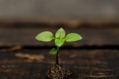 Jonge spruit bij onscherpe houten achtergrond Stock Foto