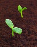 Jonge spruit in de grond Stock Foto's