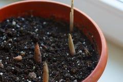 Jonge spruit in de lente royalty-vrije stock foto