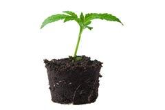 Jonge spruit in hoogste grond royalty-vrije stock afbeeldingen