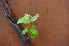 Jonge spruit op een oude wijnstok Stock Foto's
