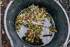 Jonge spruiten in een emmer De schaar en de bladeren drijven in het water Het planten van zaailingen in de grond Landbouwbedrijf stock afbeelding