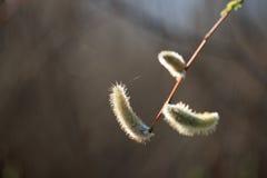 Jonge spruiten, knoppen van bomen in de lente Stock Afbeeldingen