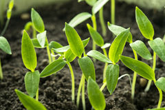 Jonge Spruiten met Groen Blad of Bladeren die van Grond groeien Sprin royalty-vrije stock afbeelding