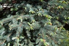 Jonge spruiten op de takken van de blauwe sparren De aard van de flora van gematigd klimaat royalty-vrije stock foto's