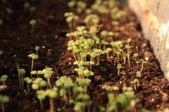 Jonge spruiten van citroenbalsem in een pot royalty-vrije stock fotografie
